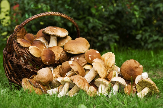 Jak wyhodować grzyby leśne w ogrodzie?