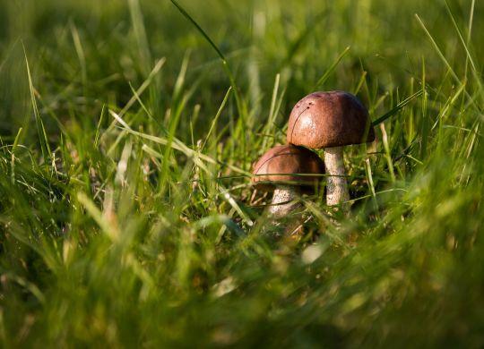 grzyby w trawie