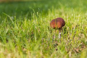 mushrooms grzybnie