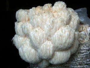 Hericium erinaceum-2