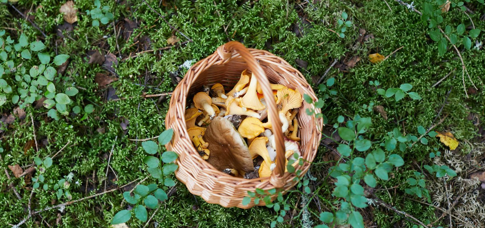 Ucinać czy ukręcać, czyli jak zbierać grzyby